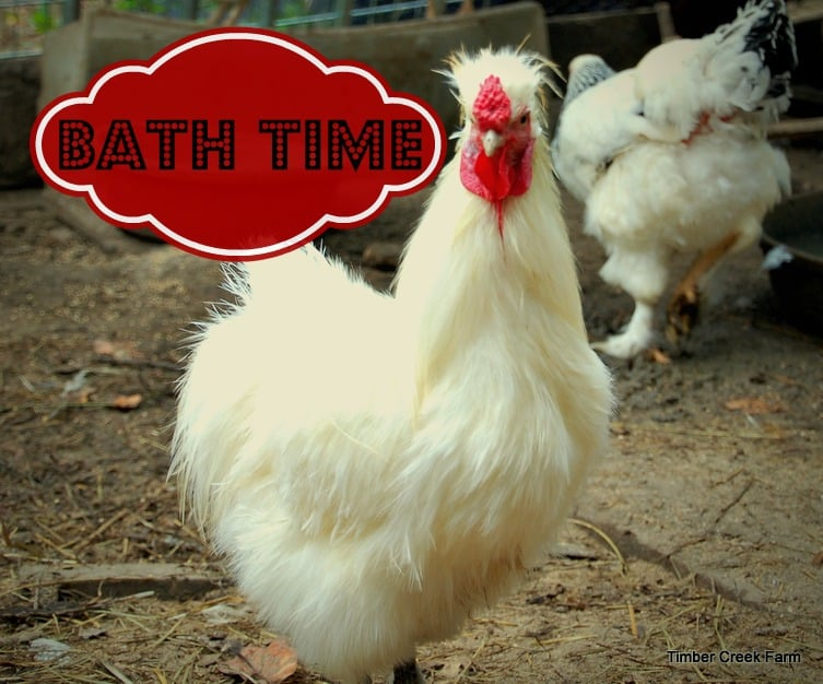 Yes You Can Give a Rooster a Bath