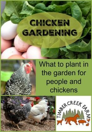 chicken gardening