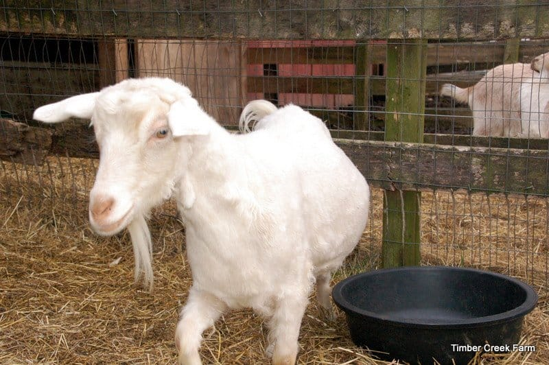 goat care DSC_0666