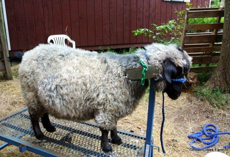 goat care DSC_5529TCF