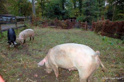 Raising Pigs to Clear Land http://timbercreekfarmer.com