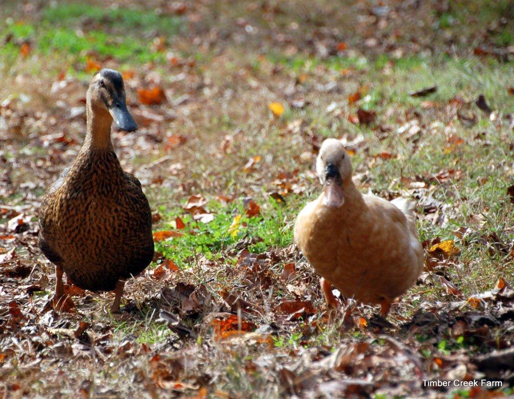Free Range Ducks timbercreekfarmer.com