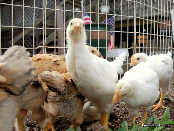 6 things I Didn't Know About Chickens