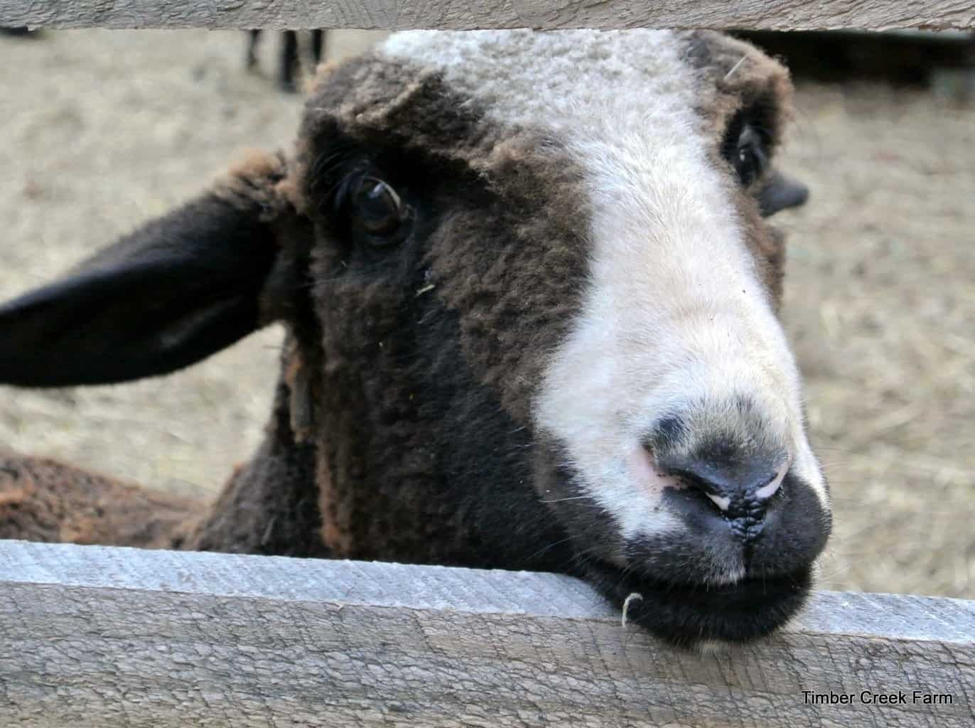 Raising Sheep Without Grazing Pastures Timber Creek Farm