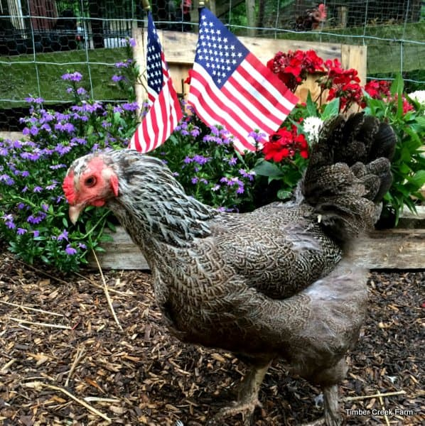 Patriotic Chickens and Memories