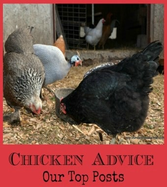 Chicken Advice for Chicken Care Issues