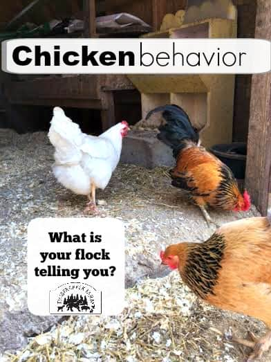 chicken behavior