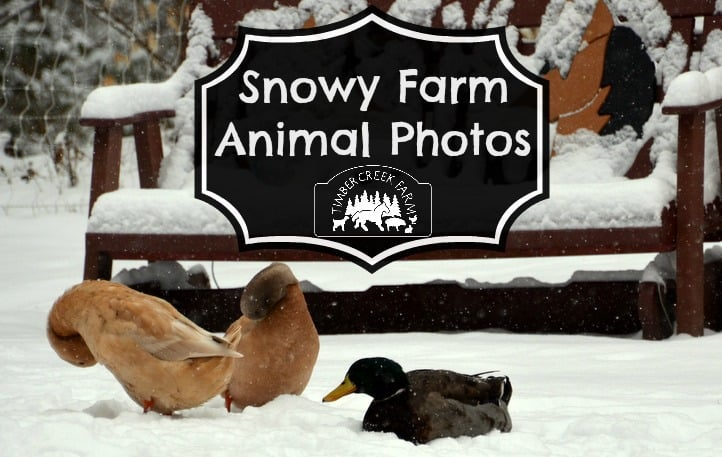 snowy farm animals