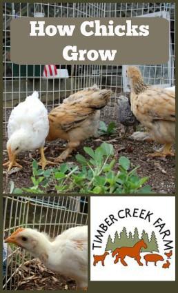 chicks grow