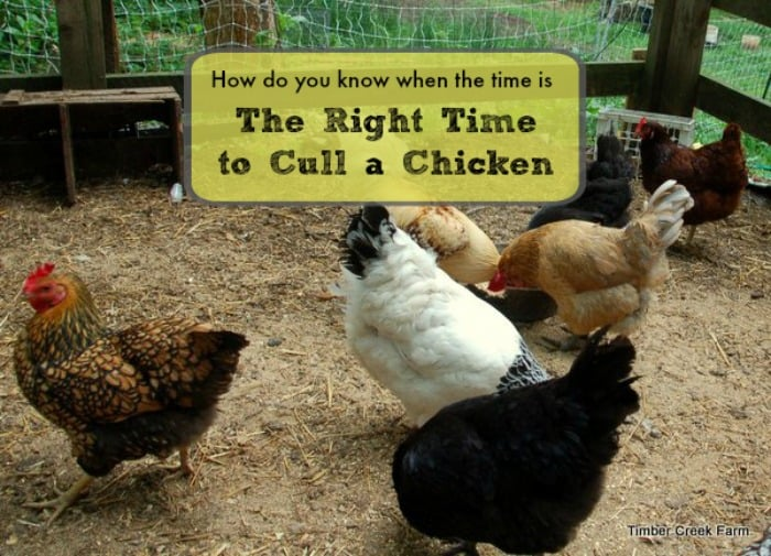 When is the Right Time to Cull a Chicken?