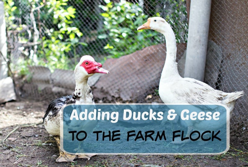 Adding Geese and Ducks to Your Flock