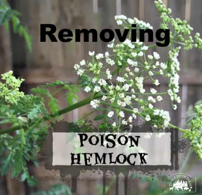 removing poison hemlock