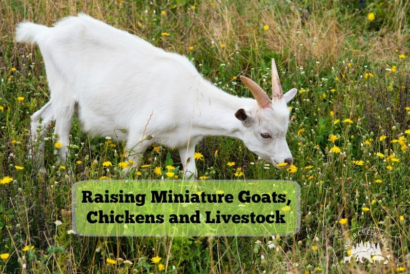 Raising Miniature Goats, Cows, Chickens and Sheep
