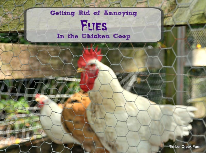 Flies in the Chicken Coop Need to Go!