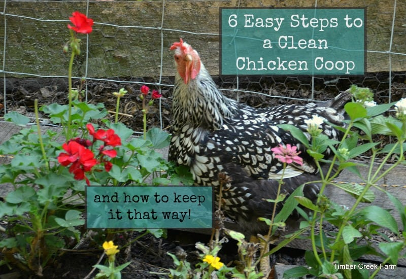 6 Step Plan for a Clean Chicken Coop