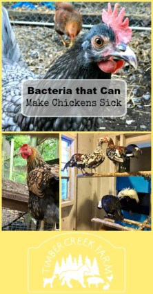 bacteria that make chickens sick