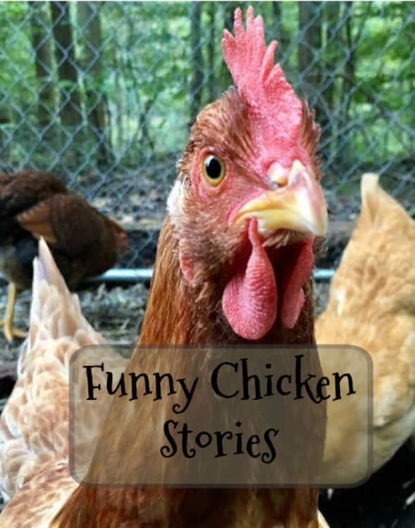 Funny Chicken Life Moment - Do You Dare to Share? - Timber ...