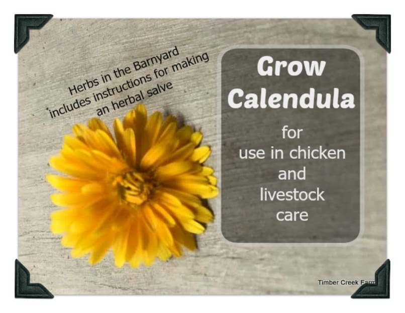 Grow Calendula for Use in Chicken and Livestock Care