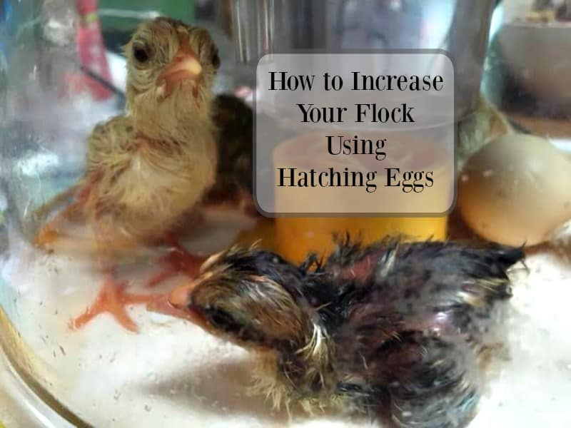 using hatching eggs