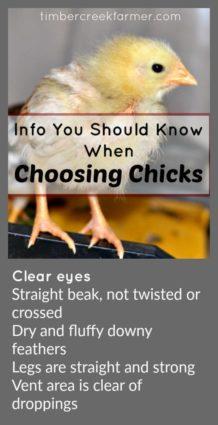 choose chicks