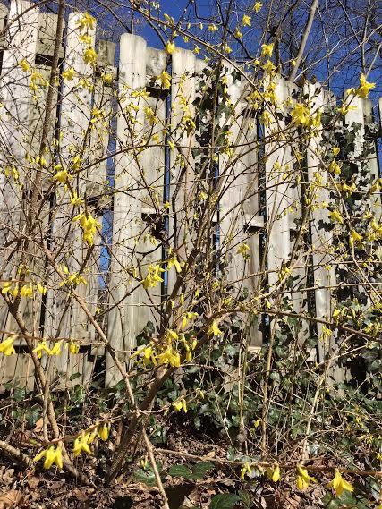 forsythia shrubs