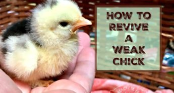 How to Revive a Weak Chick and Keep it Healthy