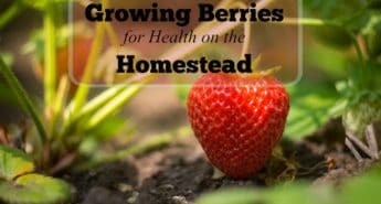 Growing Blueberries, Raspberries and Strawberries for a Healthy Homestead