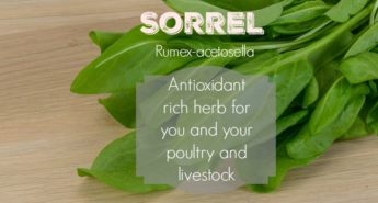 Grow Sorrel for Chickens, Goats, Sheep and You!