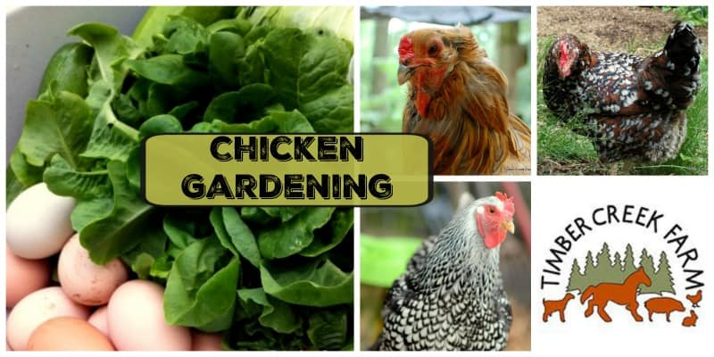 Chicken Gardening for You and Your Flock