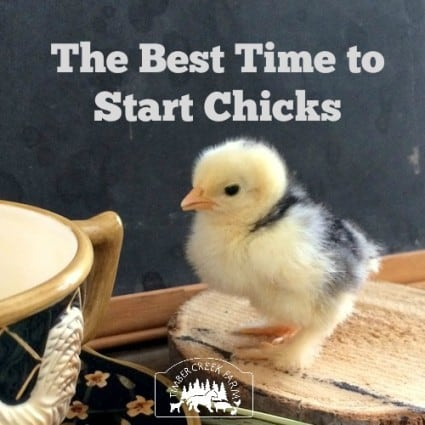 Best time to start chicks