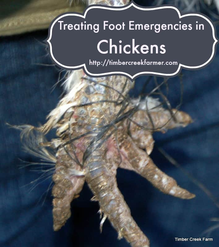 Treating Foot Injuries in Chickens