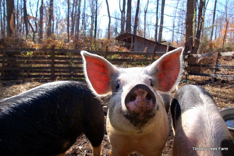 DSC 0082 Timber Creek Farm Pig Pens Or Pastures