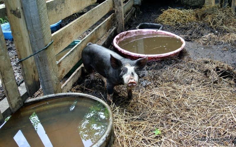 DSC 3737 Pig Pens Or Pastures