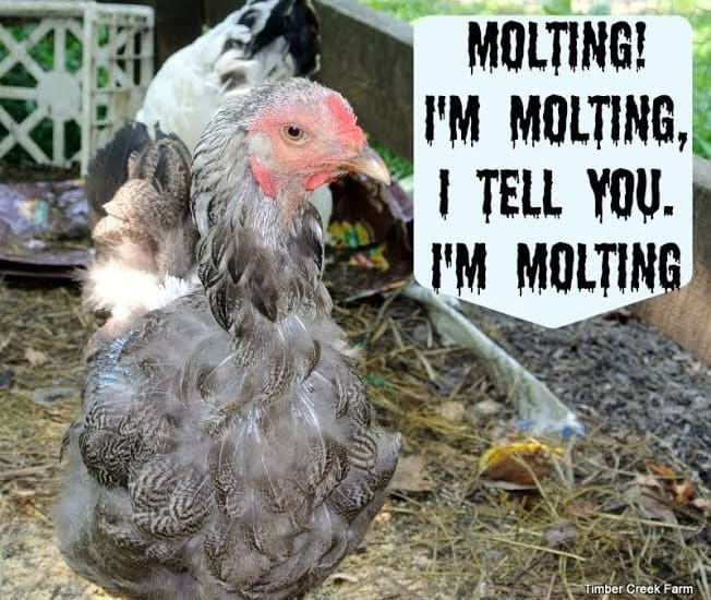 Help! My Chickens are Molting