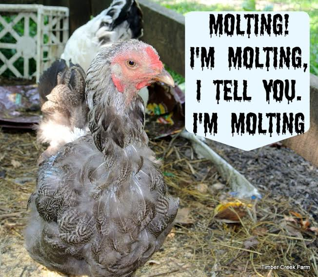 Chicken Molting