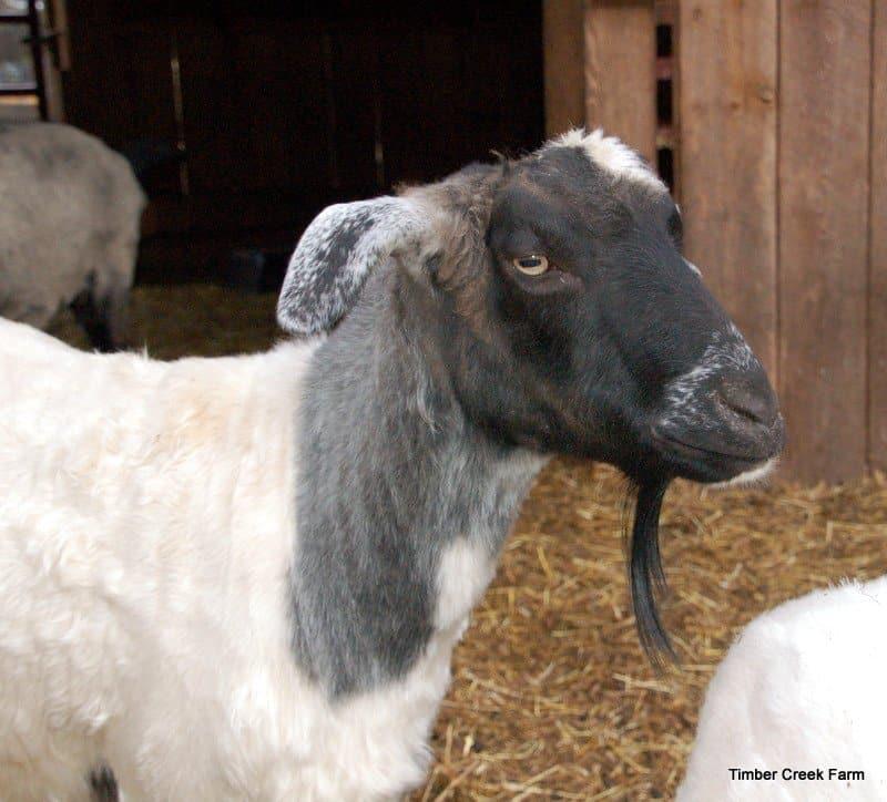 goat care  sheared pygora goat