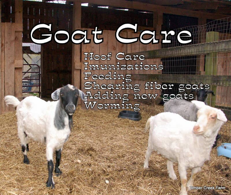Cameroon Goat: Features of Care and Maintenance