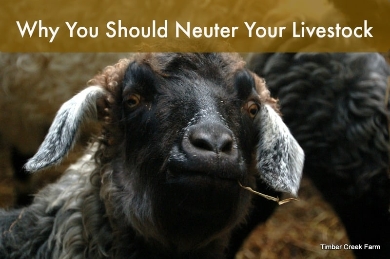 Why Neuter Livestock for the Homestead?