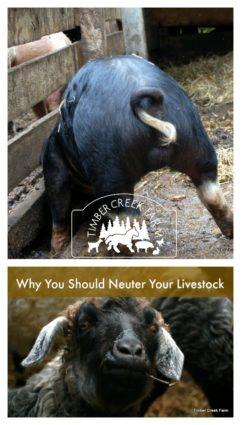 neuter livestock