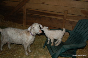 Lilly our first goat born here 2007