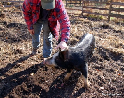raising pigs to clear land