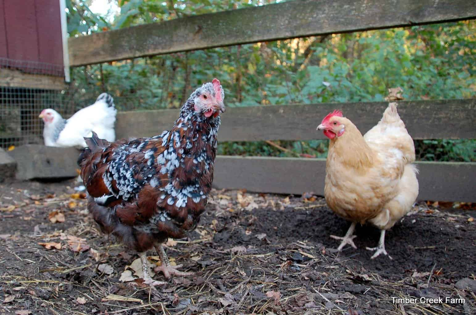 hens at Timber Creek Farm