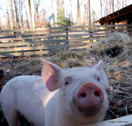 Raising Pigs to Clear Land timbercreekfarmer.com