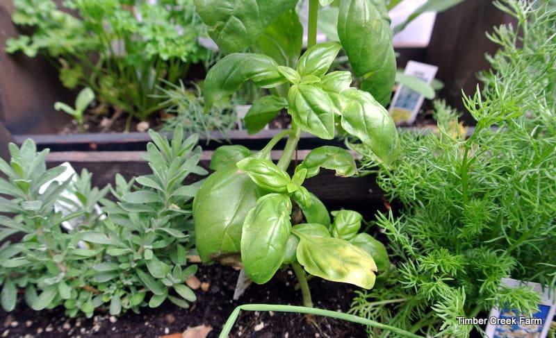Fresh Herb Garden : Growing preserving and storing garden fresh herbs