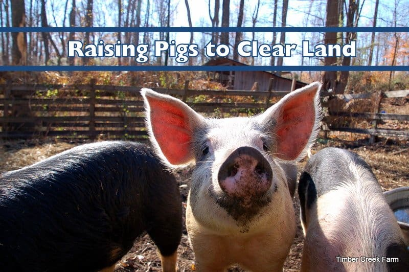 Raising pigs to clear land timber creek farm raising pigs to clear land publicscrutiny Choice Image