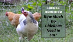 how much food do chickens need