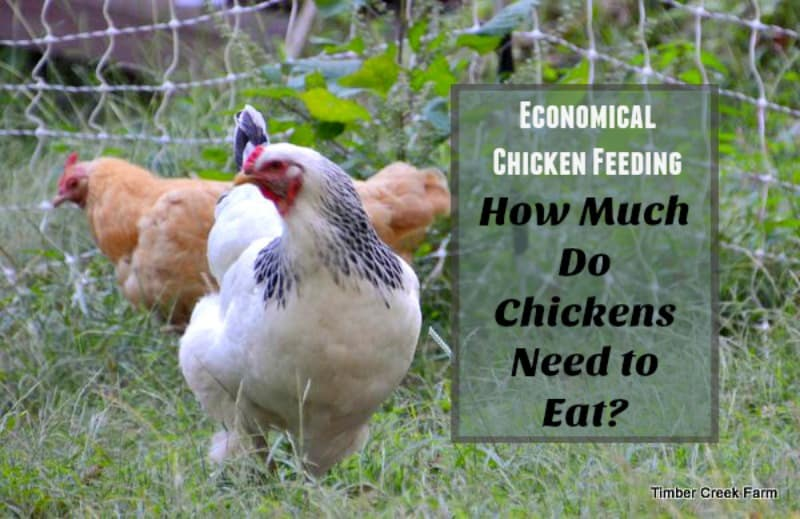 How Much Food Does a Chicken Need - Timber Creek Farm