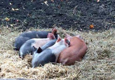 Raising Pigs to Clear Land https://timbercreekfarmer.com