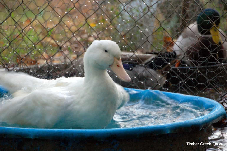 free range ducks pros and cons timber creek farm