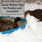 Quick Winter Tips for Poultry and Livestock
